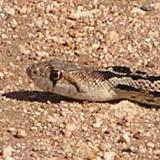 Gopher Snake - Johnson's Pasture