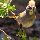 Green-Tailed Towhee - San Antonio Ski Hut
