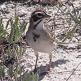 Lark Sparrow Gathering Nesting Material - Johnson's Pasture