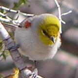 Verdin - The Living Desert