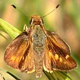 Umber Skipper - Big Dalton Canyon